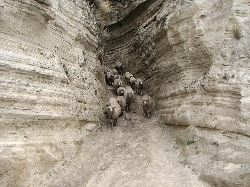 monochrome world - sheep on Quilotoa volcano